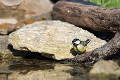 Great tit drinking water Stock Photo