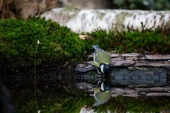 Great Tit drinking water from a tranquil pond royalty free stock photography