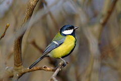 Great tit on a dry branch Royalty Free Stock Photos