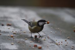 Great tit with food between his beak in Abcoude in the Netherlands Royalty Free Stock Photos