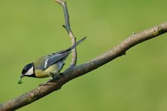 Great Tit eating Caterpillar Stock Image