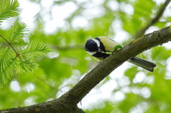 Great tit eating Royalty Free Stock Photography