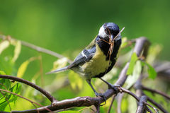 Great Tit eating mosquito. Great Tit (Parus major) carrying mosquito in beak Stock Photography