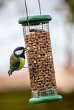 Great Tit eating peanuts Royalty Free Stock Image