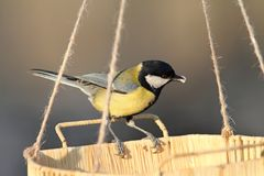 Great tit eating seeds Royalty Free Stock Photos