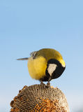 Great Tit eating seeds of sunflower Stock Photography