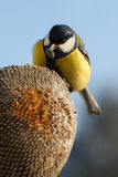 Great Tit eating seeds of sunflower Stock Images
