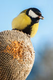 Great Tit eating seeds of sunflower Stock Photo