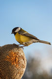 Great Tit eating seeds of sunflower Royalty Free Stock Photos