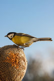 Great Tit eating seeds of sunflower Royalty Free Stock Photography