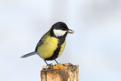 Great tit eating sunflower seed Stock Photography