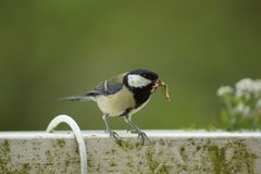 A great tit on the edge of a balcony. Close up - France Stock Photos