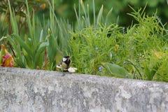 A great tit on the edge of a balcony. Far sight - France Royalty Free Stock Photos