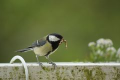 A great tit on the edge of a balcony. Side view - France Royalty Free Stock Photography