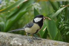 A great tit on the edge of a balcony. Near viewing - France Stock Images