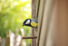 Great tit exiting nest box Stock Photos