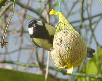 Great tit at fat ball. This is a little wild bird (parus major) you can see often in germany in winter time when you feed birds with fat balls. they stay in Royalty Free Stock Photo