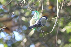The great tit on fat ball Stock Images