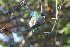 The great tit on fat ball Royalty Free Stock Image