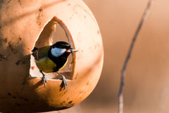 Great Tit in a feeder Stock Images
