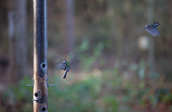 Great tit on feeder Stock Images