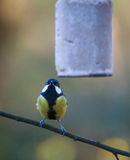 Great Tit on feeder Stock Photo