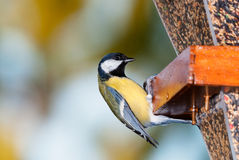 Great tit at feeder Royalty Free Stock Image