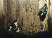 Great tit feeding her chicks Royalty Free Stock Photos
