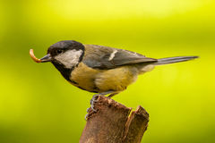 Great Tit feeding on log. Great tit bird feeding on log in UK garden Stock Photos
