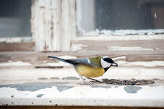 Great tit feeding on sunflower seeds Stock Photography