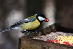 Great tit feeding in winter Royalty Free Stock Photography