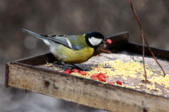 Great tit feeding in winter Royalty Free Stock Images