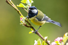 Great tit feeding young Stock Photos