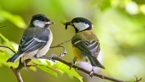 Great tit is feeding younger bird Royalty Free Stock Photo