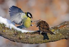 Great Tit fights House Sparrow in winter. Great Tit attacks House Sparrow with outstretched legs and claws stock images