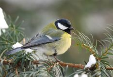 Great tit on fir branch Stock Image