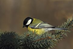 Great tit  on a fir branch Royalty Free Stock Images