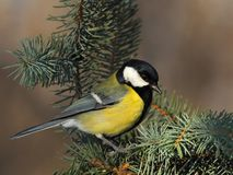 Great tit  on a fir branch Royalty Free Stock Image