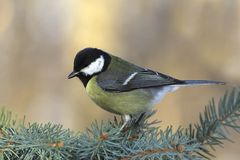 Great tit on a fir branch Royalty Free Stock Photos