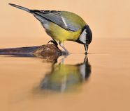 Great Tit fishing. Stock Image