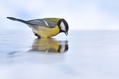 Great Tit fishing. Stock Photos