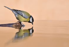 Great Tit fishing. Royalty Free Stock Photos