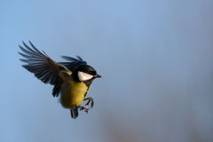 Great Tit in flight Royalty Free Stock Photos