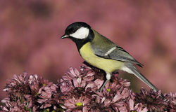 Great Tit on flower Royalty Free Stock Photos