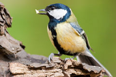 Great Tit with Food in Bill Stock Images