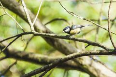 Great Tit on forest Stock Photo