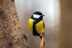 Great tit in the forest stock photos
