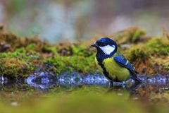 Great tit at the forest puddle Royalty Free Stock Images