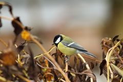 Great tit in the garden Stock Photography