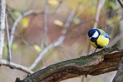 Great tit in gnarled wood Royalty Free Stock Photos